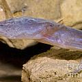 Austin Blind Salamander by Dante Fenolio