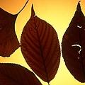 5 Autumn Leaves by Tamarra Tamarra