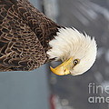 Bald Eagle by Dean Gribble