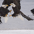 Bald Eagle Haliaeetus Leucocephalus by Michael Quinton