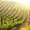 Beautiful Lush Grape Vineyard by Andy Dean