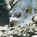 Blackspotted Puffer by Georgette Douwma
