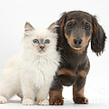 Blue-point Kitten & Dachshund by Mark Taylor