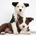 Border Collie Puppies by Mark Taylor