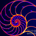 Chambered Nautilus by Ted Kinsman