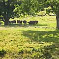 Cows Grazing On Grass In Farm Field Summer Maine by Keith Webber Jr