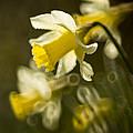 Daffodils by Angel Ciesniarska