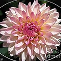 Dahlia Named Valley Porcupine by J McCombie