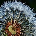 Dandelion With Dew Drops by Werner Lehmann