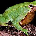 Darwins Frog by Dante Fenolio