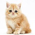Ginger Kitten by Mark Taylor