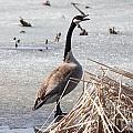 Goose by Lori Tordsen