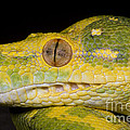 Green Tree Python by Dante Fenolio