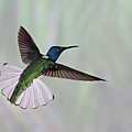 Hummingbird by David Tipling
