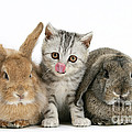 Kitten And Rabbits by Mark Taylor