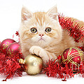 Kitten With Tinsel by Mark Taylor