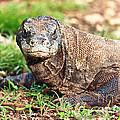 Komodo Dragon by MotHaiBaPhoto Prints
