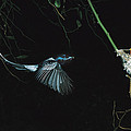 Madagascar Paradise Flycatcher by Cyril Ruoso