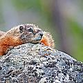 Marmot by Elijah Weber