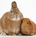 Rabbit And Guinea Pig by Mark Taylor