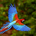 Red And Green Macaw Ara Chloroptera by Pete Oxford
