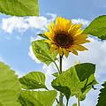 Sunflower by Michael Goyberg