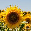 Sunflowers by Carol Ailles