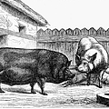 Swine, 19th Century by Granger