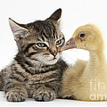 Tabby Kitten With Yellow Gosling by Mark Taylor