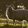 The Lamb  by Angel Ciesniarska