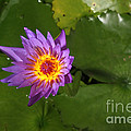 Waterlily Opening Part Of A Series by Ted Kinsman