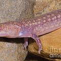 West Virginia Spring Salamander by Dante Fenolio