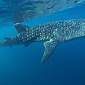 Whale Shark by Alexis Rosenfeld