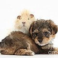 Yorkipoo Pup With Guinea Pig by Mark Taylor