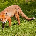 A British Red Fox by Dawn OConnor