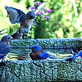 6 Bluebirds Bathing by Carrie OBrien Sibley