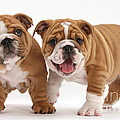 Bulldog Puppies by Mark Taylor