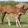 Chestnut Icelandic Horse With Newborn Foal by Kathleen Smith