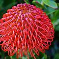 Common Pincushion Protea by Werner Lehmann