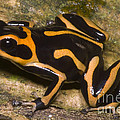 Crowned Poison Frog by Dante Fenolio