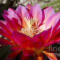 Dark Pink Cactus Flower by Jim And Emily Bush