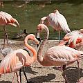 Flamingos by Carol Ailles