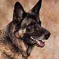 German Shepherd by Jai Johnson
