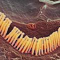 Inner Ear Hair Cells, Sem by Steve Gschmeissner