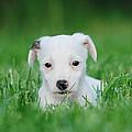 Jack Russell Terrier Puppy by Waldek Dabrowski