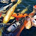 Koi Fish by Werner Lehmann