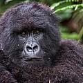 Mountain Gorilla by Tony Camacho