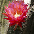 Red Cactus Flower by Jim And Emily Bush