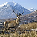 Red Deer Stag by Duncan Shaw