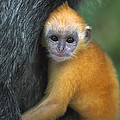 Silvered Leaf Monkey Trachypithecus by Cyril Ruoso